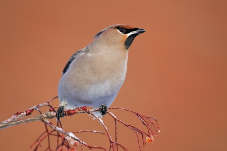 garrulus: Waxwing, Bombycilla garrulus, single bird on rowan berries,    West Midlands