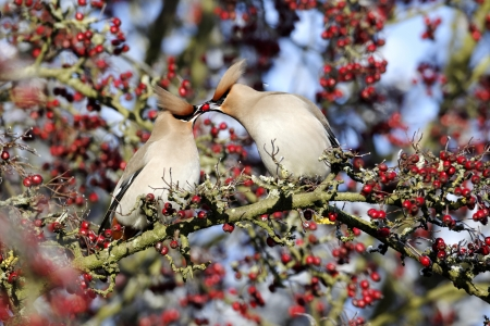 garrulus: Waxwing, Bombycilla garrulus, two birds feeding each other, Midlands