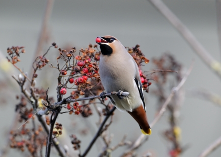 garrulus: Waxwing, Bombycilla garrulus, single bird with red berries, Staffordshire
