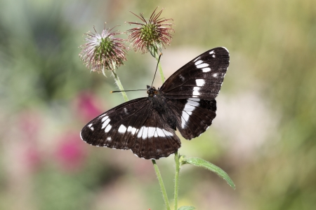 admiral: White admiral, Ladoga camilla, single butterfly perched, Warwickshire Stock Photo