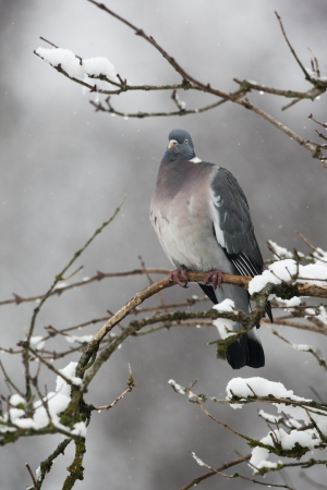hedgerow: Wood pigeon, Columba palumbus, single bird sitting on snow covered branch, Gloucestershire, UK