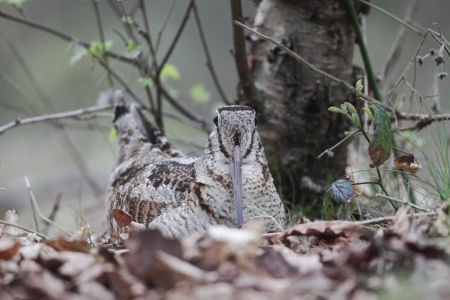 Woodcock, Scolopax rusticola, single bird on its nest in oak leaves, Debyshire, May 2010