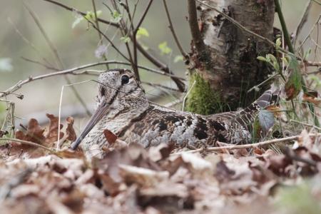Woodcock, Scolopax rusticola, single bird on its nest in oak leaves, Debyshire
