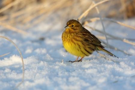 lothian: Yellowhammer, Emberiza citrinella, single female standing on snow, Lothian, Scotland