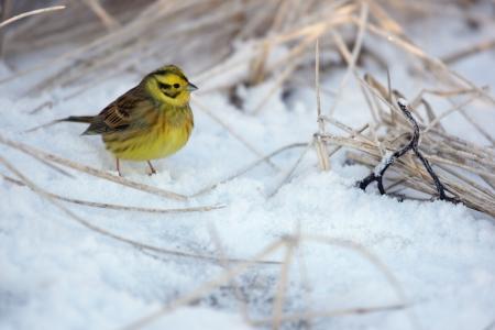 lothian: Yellowhammer, Emberiza citrinella, single male standing on snow, Lothian, Scotland        Stock Photo