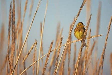 Yellowhammer, Emberiza citrinella, single female perched on reeds feeding on seeds, Lothian, Scotland     Stock Photo