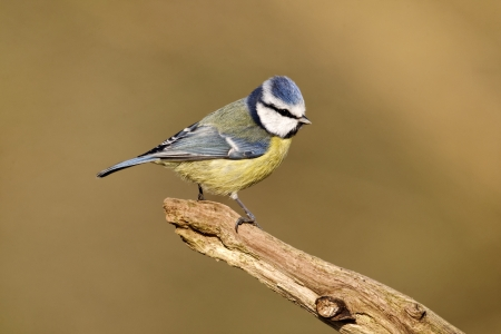 Blue tit, Parus caeruleus, single bird on branch, Warwickshire, January 2012  photo