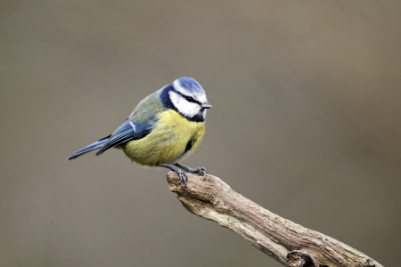Blue tit, Parus caeruleus, single bird on branch, Warwickshire, January 2012
