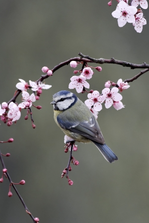 Blue tit, Parus caeruleus, single bird on blossom, Warwickshire, March 2012 photo