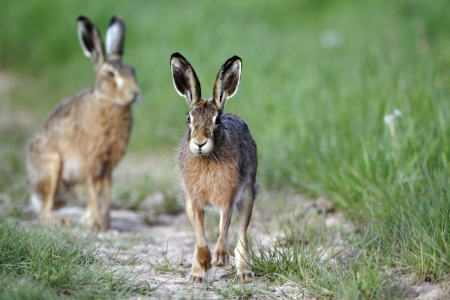 Brown hare, Lepus europaeus, two mammals on grass, Warwickshire, May 2012