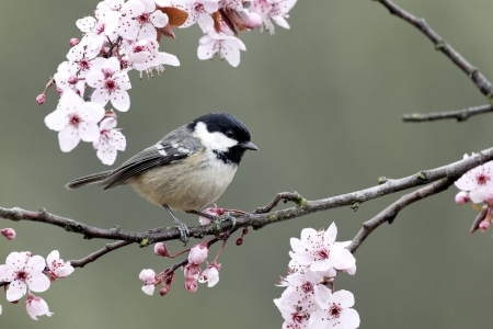 Coal tit, Parus ater, single bird on blossom, Warwickshire, March 2012