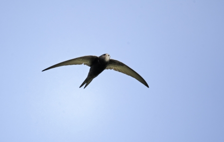 Swift, Apus apus, single bird in flight, Oxfordshire, April 2012