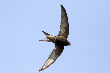 Common swift, Apus apus, single bird in flight, Warwickshire, May 2012