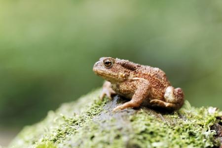 bufo toad: Common toad, Bufo bufo, single toad on log, Warwickshire, August 2012