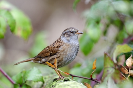 Dunnock or hedge sparrow, Prunella modularis, single bird on branch, Midlands, October 2011