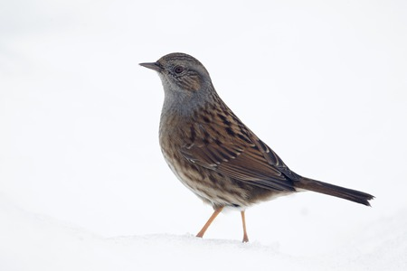 prunella: Dunnock, Prunella modularis, Single bird in snow, Warwickshire, February 2012