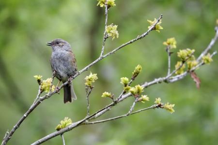 prunella: Dunnock, Prunella modularis, single bird singing on branch, Warwickshire, May 2012 Stock Photo