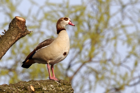 alopochen: Egyptian goose, Alopochen aegyptiacus, Single bird on branch in tree, London parks, March 2012