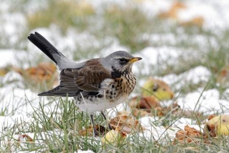 Fieldfare, Turdus pilaris, single bird on snowy ground, Warwickshire, February 2012 photo