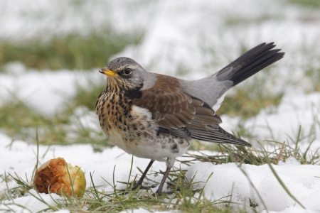 Fieldfare, Turdus pilaris, single bird on snowy ground, Warwickshire, February 2012 photo