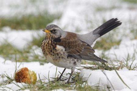 pilaris: Fieldfare, Turdus pilaris, single bird on snowy ground, Warwickshire, February 2012 Stock Photo