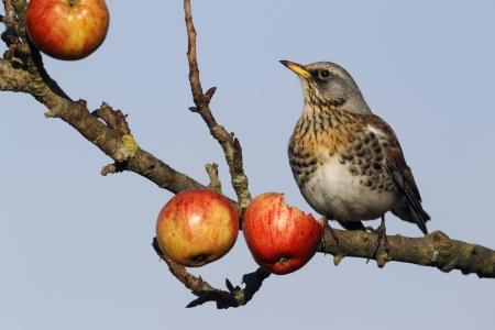 Fieldfare, Turdus pilaris, single bird on apples in tree, Warwickshire, December 2012         photo