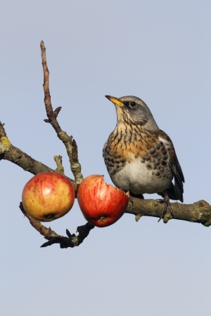 Fieldfare, Turdus pilaris, single bird on apples in tree, Warwickshire, December 2012         photo