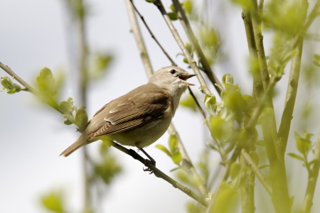 Garden warbler, Sylvia borin, single bird on branch singing, Warwickshire, May 2012