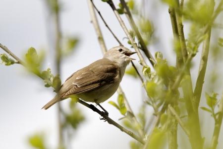 Garden warbler, Sylvia borin, single bird on branch singing, Warwickshire, May 2012