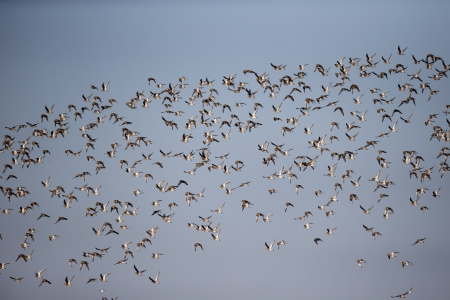 pluvialis: Golden plover, Pluvialis apricaria, group in flight, Slimbridge, Gloucestershire, December 2012 Stock Photo