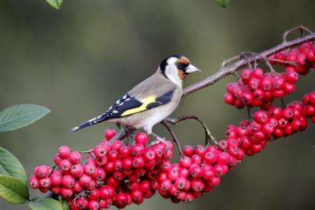 Goldfinch, Carduelis carduelis, single bird on red berries in garden, Warwickshire, December 2011