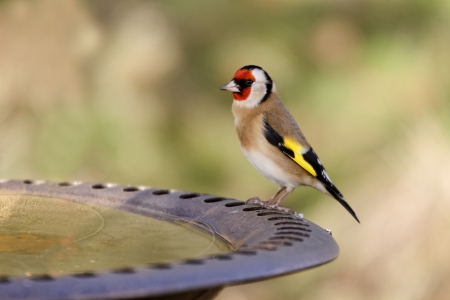 Goldfinch, Carduelis carduelis, single bird on garden bird bath, Warwickshire, December 2011 Reklamní fotografie