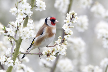 Goldfinch, Carduelis carduelis, single bird on blossom, Warwickshire, April 2012