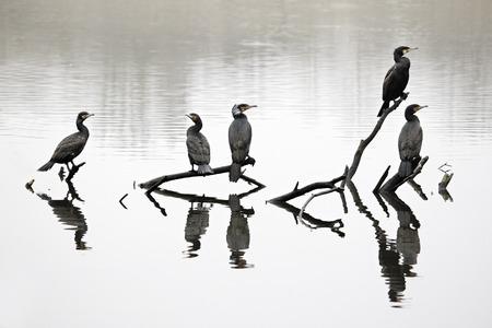 carbo: Cormorant, Phalacrocorax carbo, group of birds on branch, Midlands, April 2011 Stock Photo