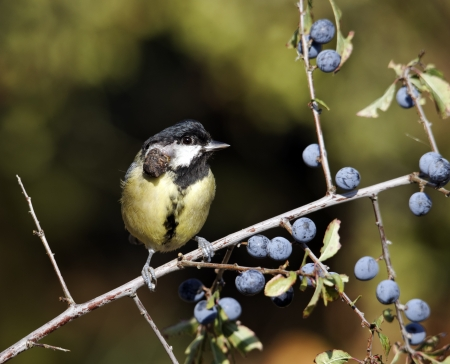 Great tit, Parus major, single bird with growth on face, Warwickshire, October 2011                photo