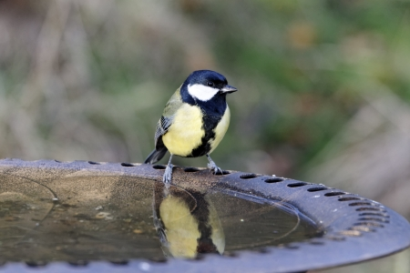 Great tit, Parus major, single bird at garden drinking bath, Warwickshire, December 2011 photo