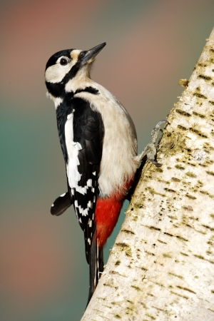 Great-spotted woodpecker, Dendrocopos major, single male on silver birch, Warwickshire, March 2012              photo