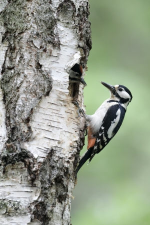 dendrocopos: Great-spotted woodpecker, Dendrocopos major, single female at nest, Warwickshire, May 2012