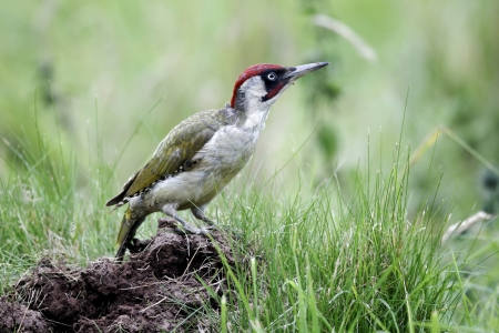 Green woodpecker, Picus viridis, single bird on ant nest,  Warwickshire, July 2012