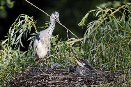 ardea cinerea: Grey heron, Ardea cinerea, single adult with nest stick and three young on nest, London, May 2011