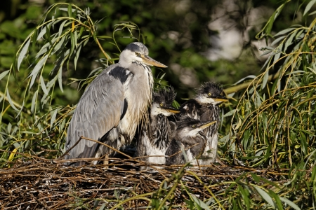 ardea cinerea: Grey heron, Ardea cinerea, single adult with three young on nest, London, May 2011                  Stock Photo