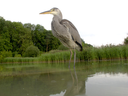 ardea cinerea: Grey heron, Ardea cinerea, single bird in water, Midlands, August 2011 Stock Photo