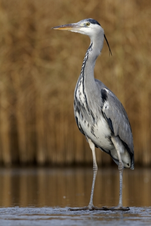 cinerea: Grey heron, Ardea cinerea, single bird on ice, Warwickshire, December 2012