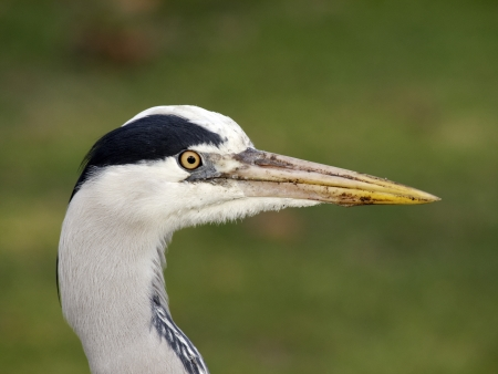 ardea cinerea: Grey heron, Ardea cinerea, single bird head shot, Warwickshire, March 2012 Stock Photo