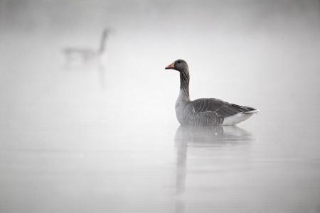anser: Greylag goose, Anser anser, single bird on water in mist,  Midlands, April 2011 Stock Photo