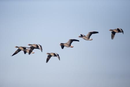 anser: Greylag goose, Anser anser, group of birds in flight, Slimbridge, Gloucestershire, December 2012