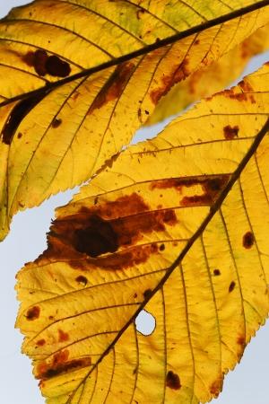 aesculus hippocastanum: Horse Chestnut, Aesculus hippocastanum, yellow leaf in Autumn, September 2011
