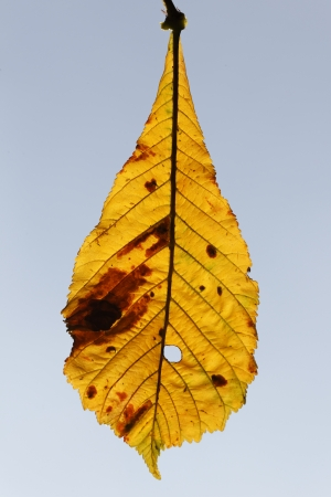 Horse Chestnut, Aesculus hippocastanum, yellow leaf in Autumn, September 2011 photo