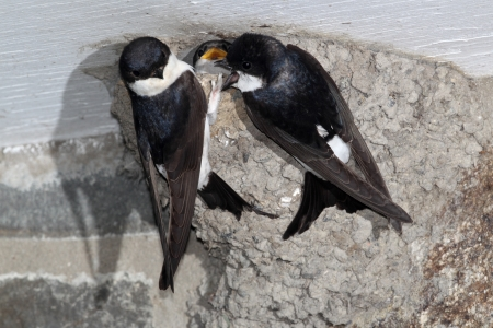 House martin, Delichon urbica, two adults on nest, Wales, June 2011
