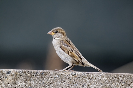 passer    by: House sparrow, Passer domesticus. single female on tiled roof, Staffordshire, August 2012